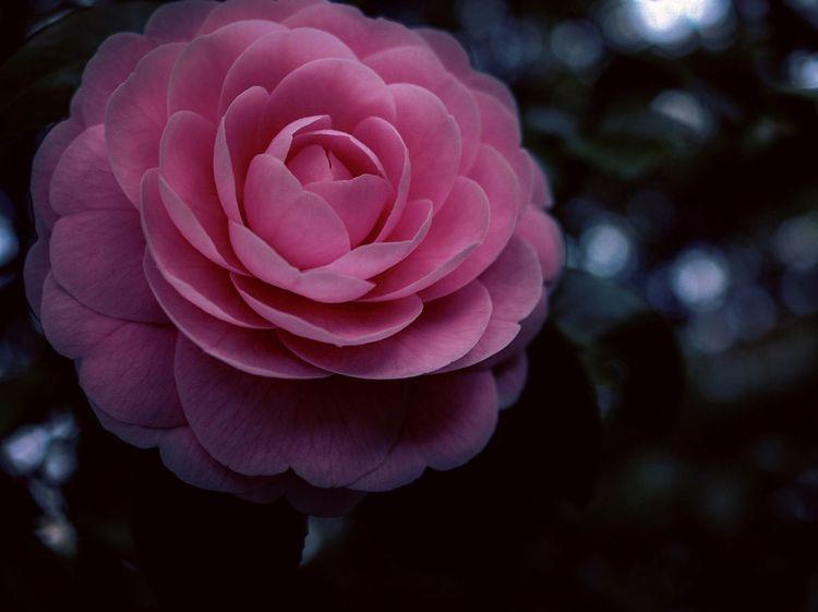 黒バック 黒背景 ピンク 春の花 満開 Spring Springtime 春 草花 植物 花 Dawn Dusk Camellia Flower Camellia 椿 つばき 乙女椿 Flower Petal Flower Head Nature Beauty In Nature Freshness No People Close-up Plant Blooming Outdoors Pink Color
