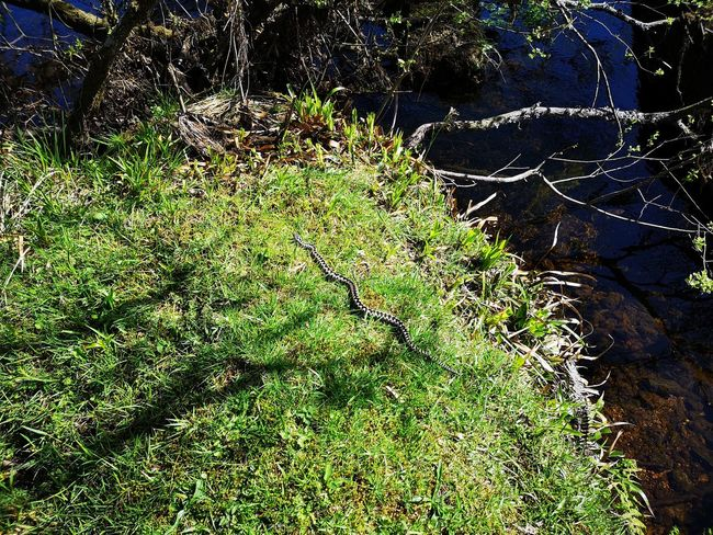 Snake. Adder on Dartmoor. Snake. Water High Angle View Sunlight Grass Close-up Green Color