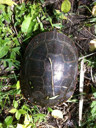 Turtle Animals In The Wild Tortoise Shell Reptile Animal Themes EyeEm Nature Lover Painted Turtle Beauty In Nature One Animal Outdoors Outdoor Photography