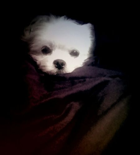 Maltese Canine Mans Best Friend Diva Sassy Girl Amateur Photography Close Up Pet Photography  Hello World Modern Life Spoiled Dog Pack Leader Little Doggie
