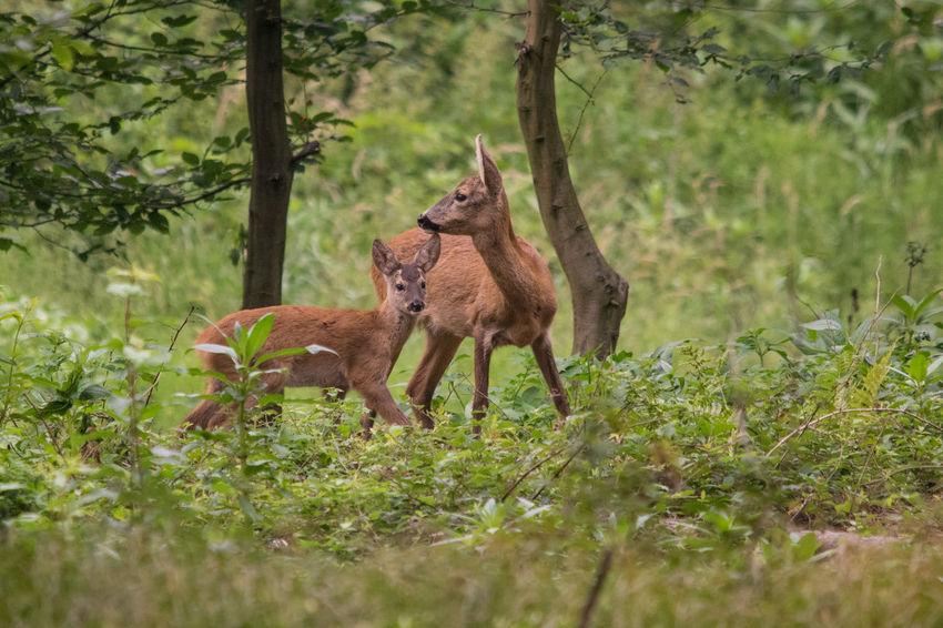 Rehgeiß mit Kitz, höchst aufmerksam Natur Pur Rehgeiß Beobachtend Aufmerksam Wald Beim Äsen Looking Around Fawn Doe Deer EyeEm Selects Tree Animal Themes Grass Plant Green Color Animal Family