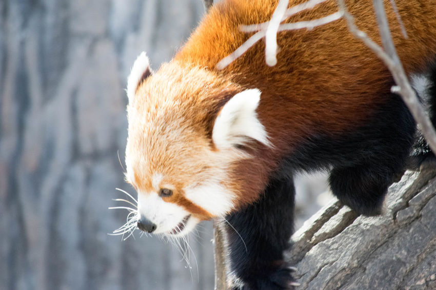 Animal Themes Animal Wildlife Animals In The Wild Cute Day Fur Furry Mammal Moving No People One Animal Outdoor Photography Outdoors Panda Red Red Panda Walking Wildlife Wildlife Photography Zoo Zoo Animals