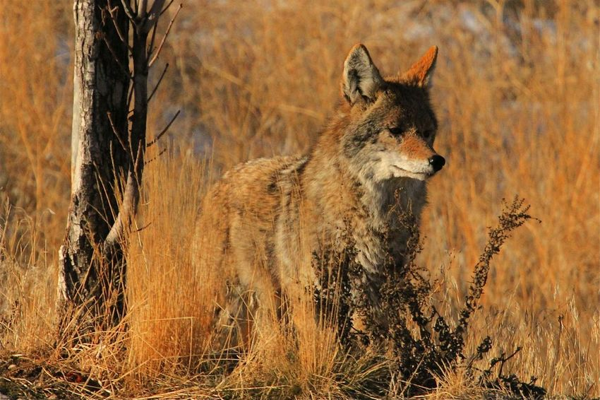 Wyle E. Coyote Wildlife Wildlife & Nature Wildlife Photography Predator Predators Coyote Nature Nature_collection Nature Photography Wildlifephotography Wildlife Photos Wildlife_perfection Wildlifephotographer Animals In The Wild Animal Wildlife Animal Themes No People One Animal Mammal Day Outdoors Nature