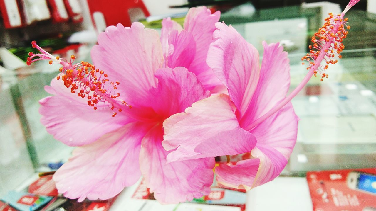 pink color, flower, no people, petal, close-up, beauty in nature, fragility, nature, flower head, day, freshness, indoors