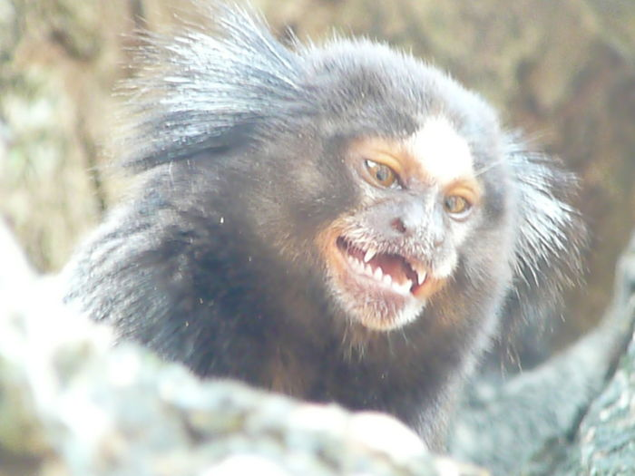 Portrait Forest Looking At Camera Ape Cute Animal Hair Close-up Animal Eye Nose Teeth Eye Eye Color Animal Nose Mouth Monkey