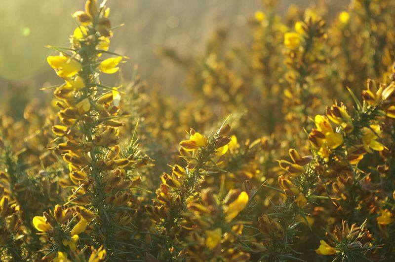 Close-up of yellow flowers during sunrise