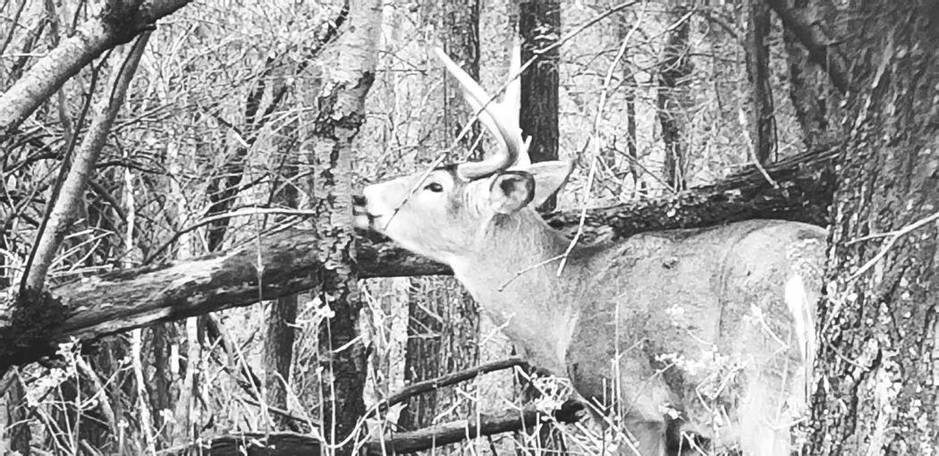 wild buck Deer