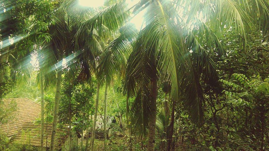 Sun Shining Through Coconut Trees Gud Morning Again : ) Have A Wonderful Sunday 😊😊