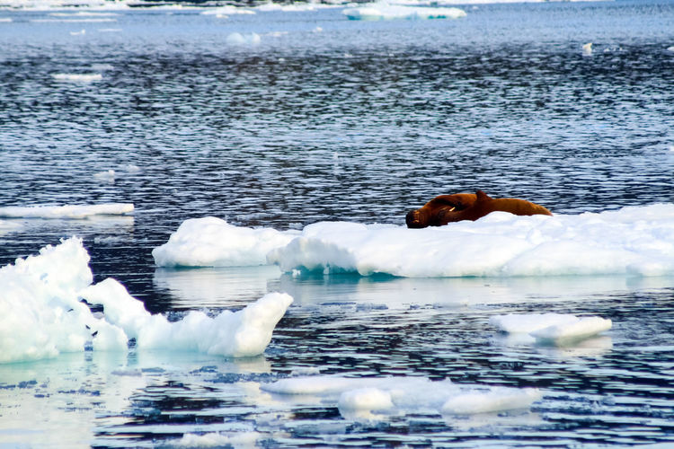 walrus Walrus Water Sea Waterfront Day Animal Themes Animal Nature Animal Wildlife Beauty In Nature Animals In The Wild No People One Animal Mammal Vertebrate Outdoors Tranquility Tranquil Scene Ice Iceberg