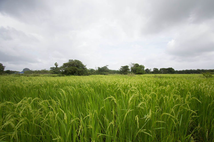 Agriculture Beauty In Nature Cereal Plant Cloud - Sky Crop  Day Farm Field Grass Green Color Growth Landscape Nature No People Outdoors Rice Rice - Cereal Plant Rice Paddy Rural Scene Scenics Sky Tranquil Scene Tranquility Tree Wheat