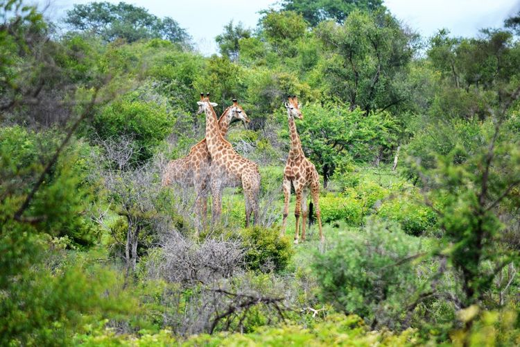 Giraffes walking around Wildlife & Nature Giraffes Green Color Bushes And Trees Long Necks Twisted Giraffe