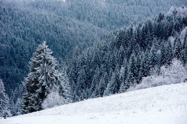 Snow covered pine trees on field