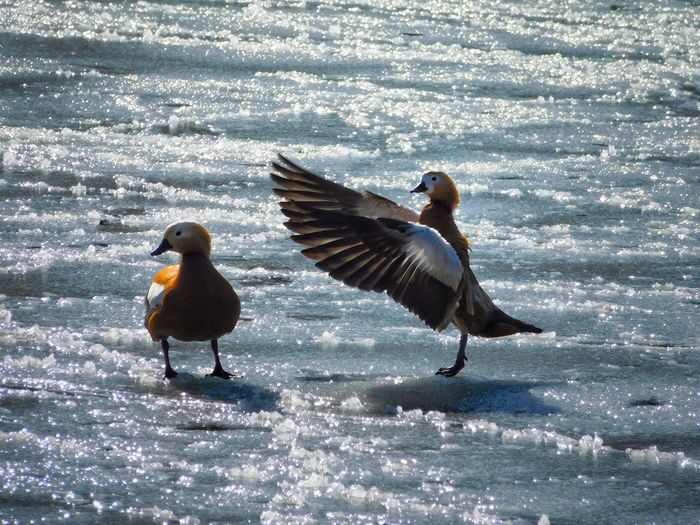 Animal Themes Animal Wildlife Animals In The Wild Beauty In Nature Bird Cold Cold Temperature Day Duck Ducks Ducks At The Lake Glare Ice Ice Covered  Lake Nature No People Outdoors Snow Spread Wings Spread Your Wings Sunny Day Water Wings Winter The Great Outdoors - 2017 EyeEm Awards