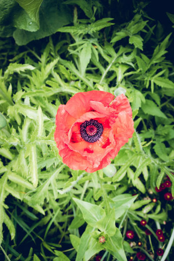 Plant Flower Flowering Plant Red Beauty In Nature Growth Inflorescence Fragility Petal Vulnerability  Flower Head Freshness Close-up Nature Green Color Plant Part Leaf High Angle View No People Day Poppy Outdoors