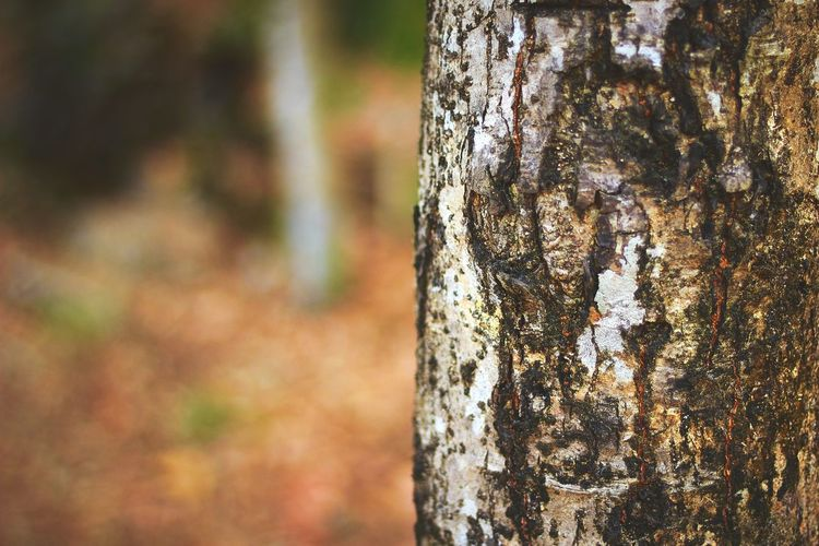 Nature Photography Focus On Foreground Tree Trunk Bark Texture Bark Tree Bark Texture Tree Bark Patterns Forest Tree Bark Tree Art Nature Showcase April Things Around Me Beauty In Nature Barks Of A Tree
