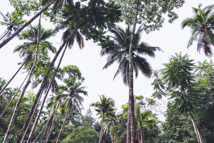 Low angle view of coconut palm trees against sky