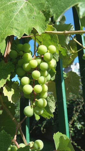 Grapes Unripe Unripe Fruits Unripe Grapes Vine Fruit Fruits Fruit Tree Green Sunny Nature Nature_collection Nature Photography