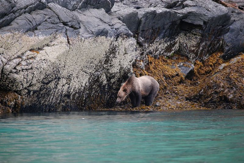 View of brown bear on rock