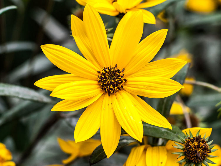 Yellow Flower Flowering Plant Petal Fragility Freshness Plant Flower Head Beauty In Nature No People Nature Pollen Gazania Close-up Focus On Foreground