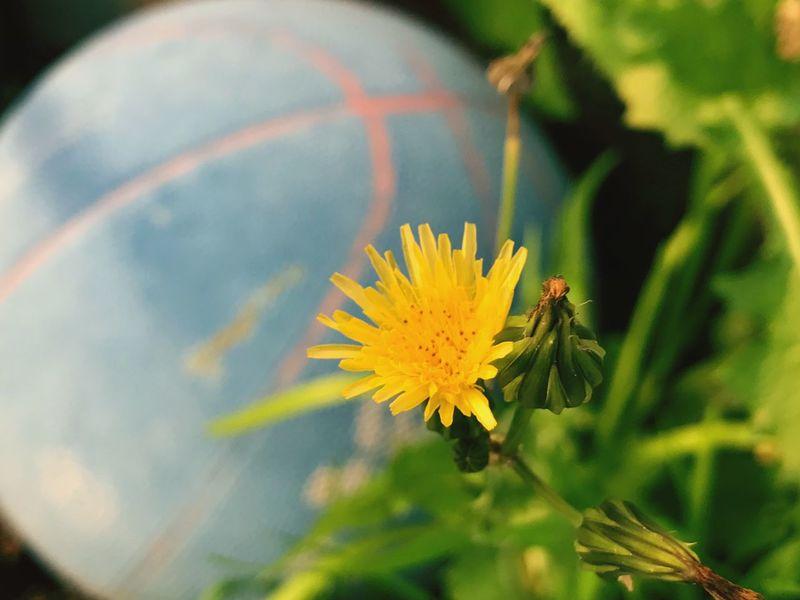 Flower Nature Yellow Flower Head Plant Diente De León
