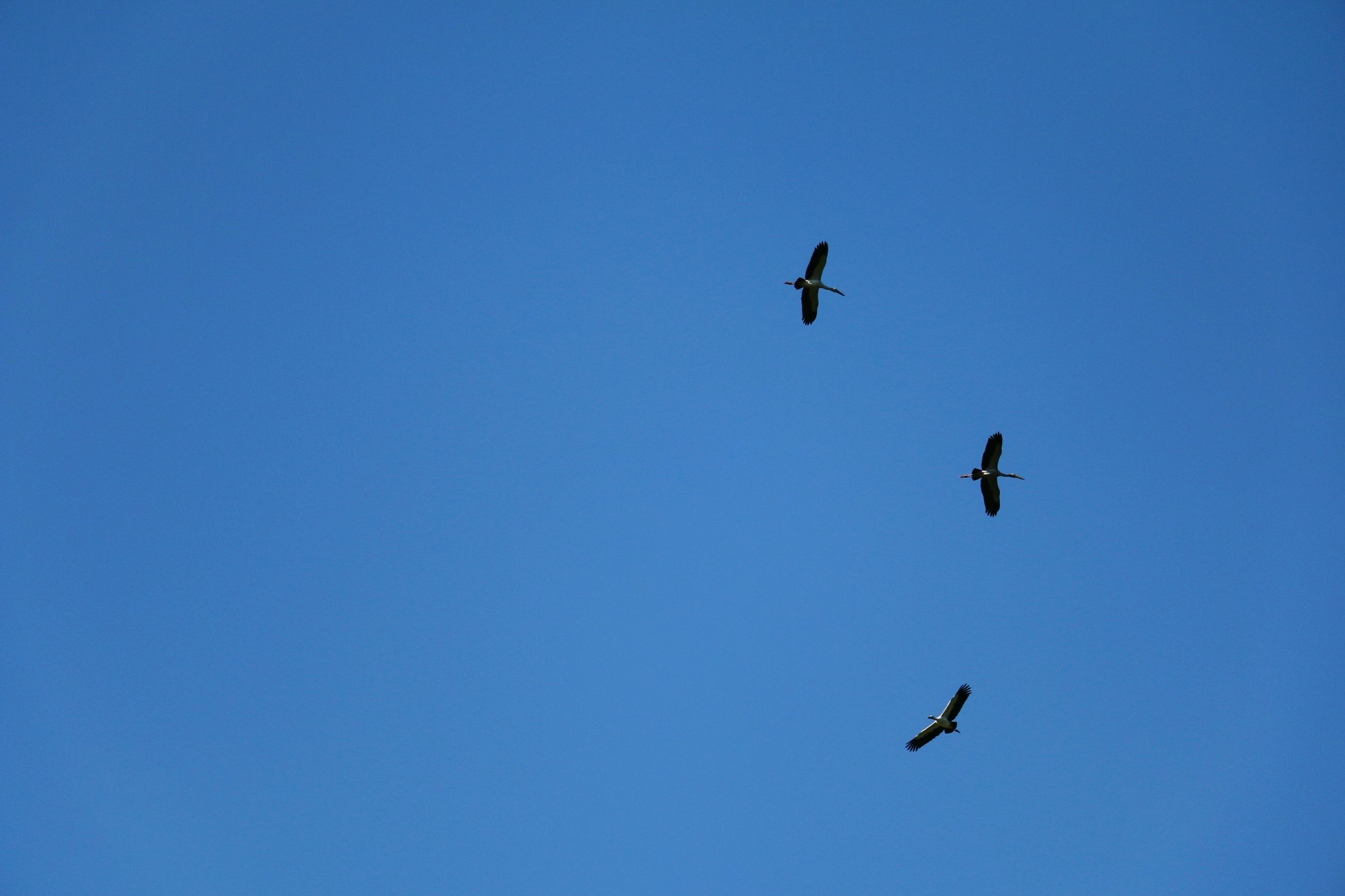 flying, mid-air, low angle view, blue, spread wings, freedom, nature, outdoors, day, sky, no people, beauty in nature