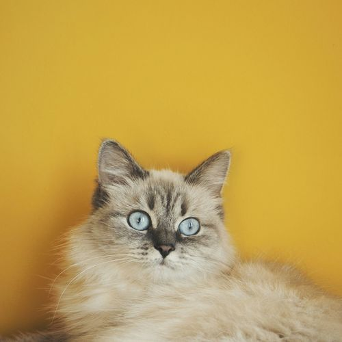 Cat Kitty Beautiful Animals  Beauty Taking Photos Blue Eyes Love VSCO Yellow Nature_collection Market Bestsellers November 2016