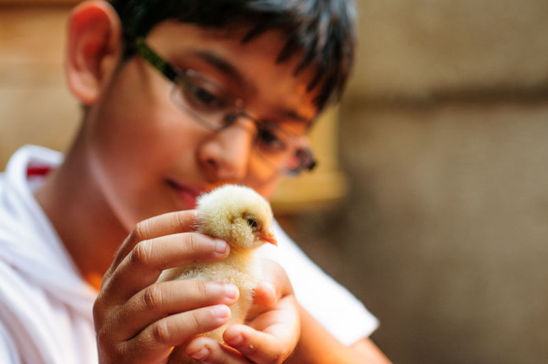 Close-up of boy holding chicken