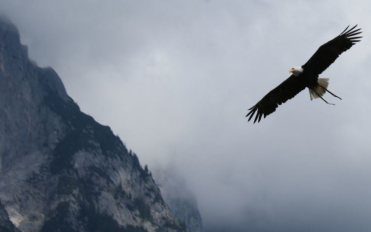 Bald Eagle Bird Bird Of Prey Day Eagle - Bird Flying Low Angle View Mid-air Motion No People One Animal Sky Spread Wings