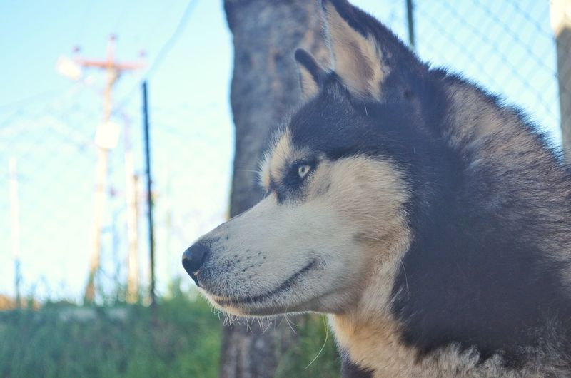 Nikonphotography Nikon Kodaikanal Wintersbelike Cold Husky Huskylove Inlove♥ Those Eyes Dog❤ Bestfriends Dog