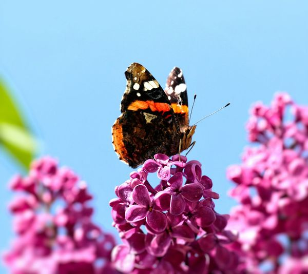 Close-up of butterfly pollinating on purple lilac flower