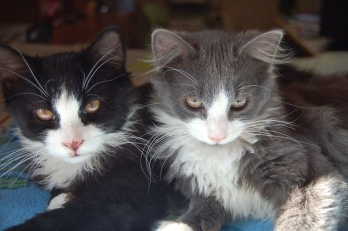 Kittens Animal Themes Black And White Cat Blackandwhite Brothers Cat KİTTEN Love Close-up Day Domestic Animals Domestic Cat Feline Focus On Foreground Gray And White Cat Indoors  Kitten Looking At Camera Mainecoon Mammal No People Pets Portrait Sitting Togetherness Two Animals Whisker