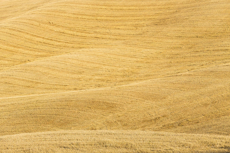Scenic view of wheat field