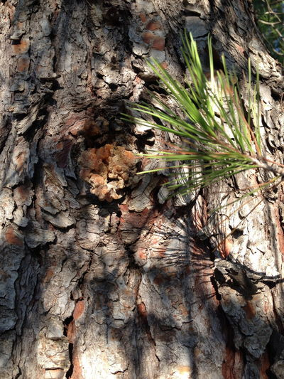 Back To Nature Bark And Light Beauty In Nature Close-up Growth Nature Nature Nature Bliss Nature Photography No People Pine Tree Shaddow Textured  Tree Tree Trunk Tree Trunk Shadows