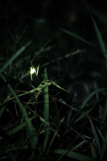 Firefly Beauty In Nature Blade Of Grass Burning Close-up Dark Field Focus On Foreground Fragility Grass Green Color Growth Land Leaf Nature Night No People Outdoors Plant Plant Part Selective Focus Tranquility