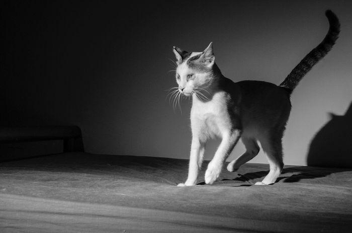 BlindCat Blinky Cat Black & White