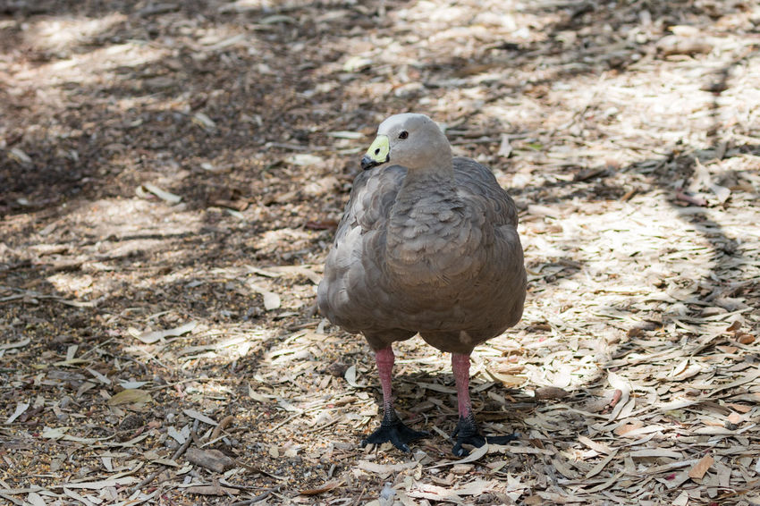 Chicken goose - Cape Barren goose - Cereopsis novaehollandiae - stands in a sunny day on the ground near the pond Adult Barren Beak Beautiful Bird Cape  Cereopsis Novaehollandiae Chicken Day Duck Eye Fauna Feather  Fowl Geese Goose Grey Ground Nature One Sun Sunny Water Wildlife Wing