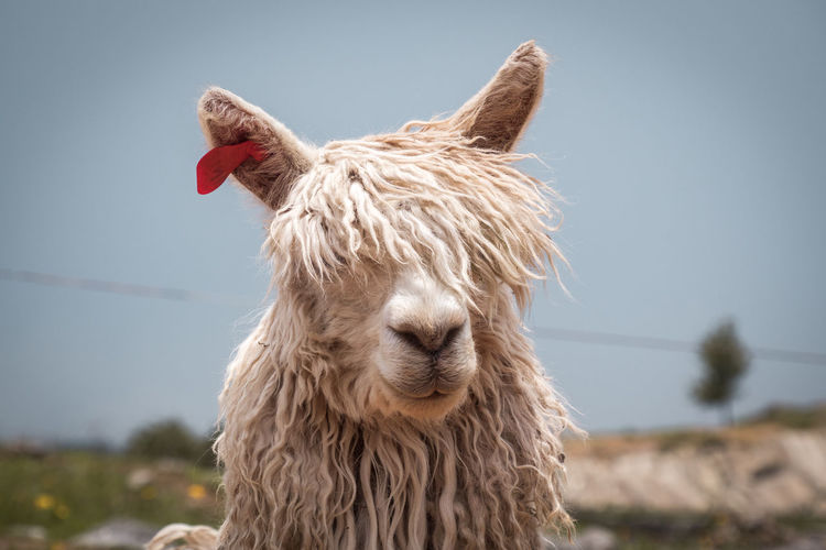 One Animal Mammal Domestic Animals Animal Themes Animal Domestic Livestock Pets Animal Body Part Focus On Foreground Hair Animal Head  Llama Animal Hair No People Day Nature Sky Close-up Land Alpaca Silly Face