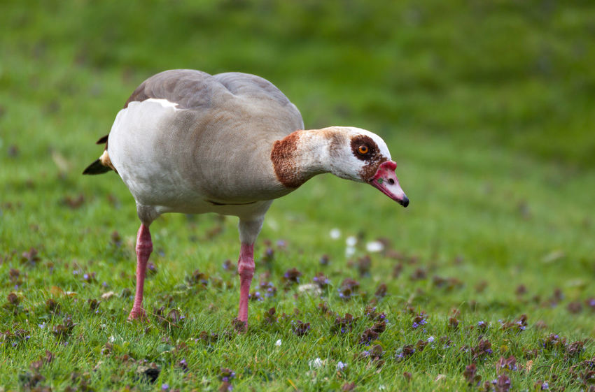 Alopochen Aegyptiaca Animal Themes Animal Wildlife Animals In The Wild Bird Close-up Curiosity Curious Day Egyptian Goose Field Focus On Foreground Goose Grass Green Color Hello World Looking At Camera Nature No People One Animal Outdoors Springtime