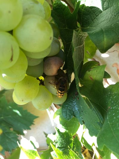 Wine Wasp Germany IPhone X Photography IPhone X Potsdam Leaf Plant Part Growth Green Color Plant Close-up Nature Day No People Freshness Healthy Eating Beauty In Nature Food And Drink Animals In The Wild Food Fruit Animal Wildlife Sunlight Outdoors Tree
