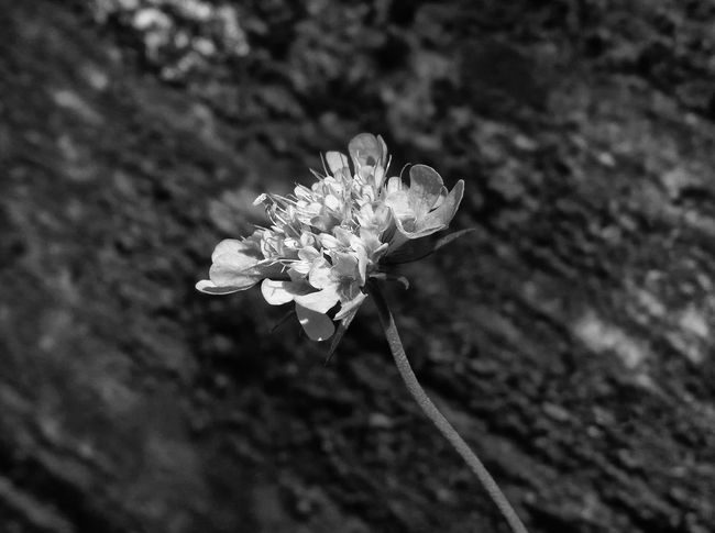 Beauty In Nature Black And White Blooming Blossom Botany Close-up Flower Flower Head Focus On Foreground Fragility Freshness Growing Growth Monochrome Nature New Life Petal Rock Softness Mountain Wilderness Macro Beauty Macro_collection The Great Outdoors With Adobe