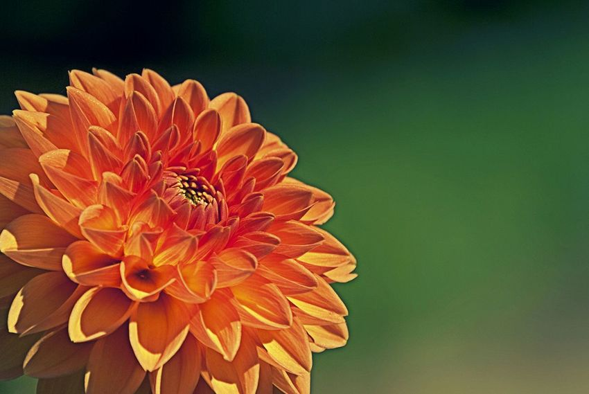 Flower Beauty In Nature Orange Color Nature Close-up Flower Head Fragility No People Plant Freshness Outdoors Day Dahlia Dahlia Flowers Dahlia Flower Dahlia Pinnata Botanical Garden Green Nature Nature Photography Depth Of Field Macro Macro Beauty Close Up Closeup