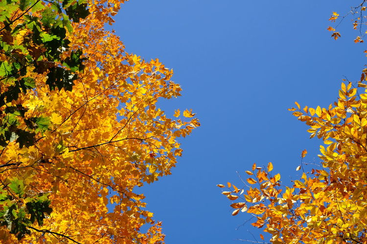 Low angle view of autumnal trees against clear blue sky