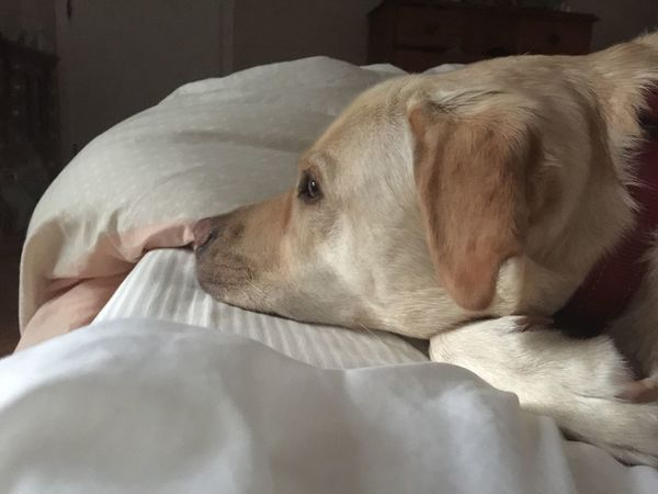 Longings Mammal Domestic Animals Pets Dog Animal Themes Indoors  Bed Close-up One Animal No People Day Miltonbiscuit Labrador Daydreaming Rest Resting Golden Golden Labrador Wondering Pet Portrait Pet Portraits