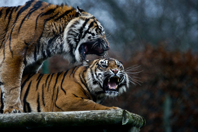 Zoo tigers Animal Animal Themes Tiger Mammal Animals In The Wild Animal Wildlife Feline Big Cat Mouth Open Mouth Cat Tree Carnivora Vertebrate No People Focus On Foreground Nature Day One Animal Outdoors Roaring Whisker Zoo Aggression  Undomesticated Cat