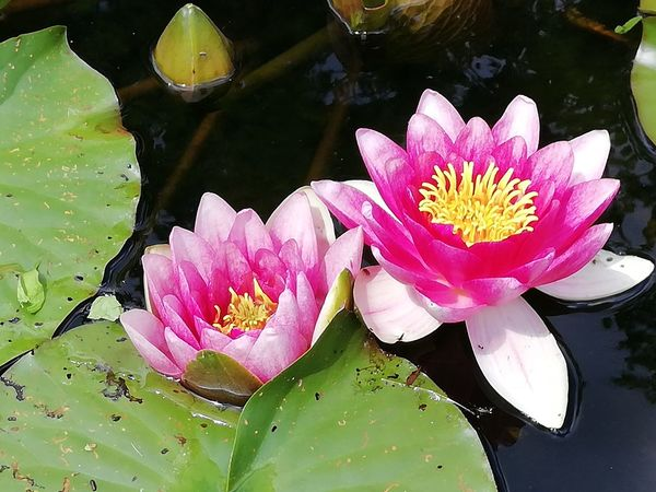 Flower Head Flower Water Lotus Water Lily Leaf Water Lily Floating On Water Pink Color Lily Pad Reflection