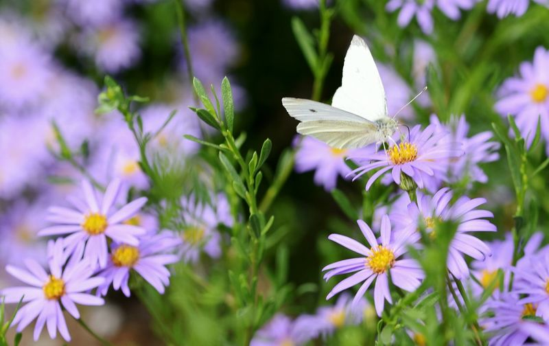Deceptively Simple Cabbage Moth Daisy Nature Purple Flower Flower Collection