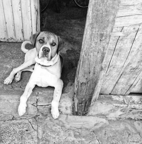 sentinel Body Guard Dog Portrait Dogslife Farm Life Wood & Paws Daylighr Protruding Sitting Sidewalk English Bulldog Canine