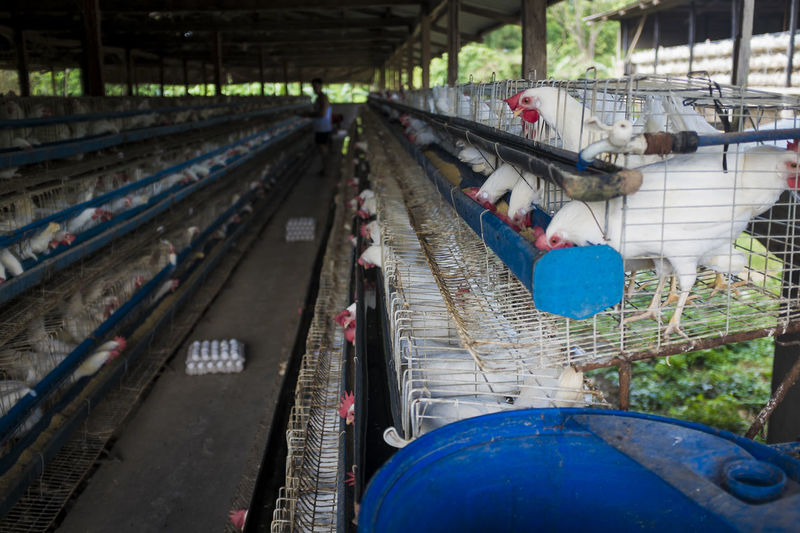 Chickens In Cage At Poultry Farm
