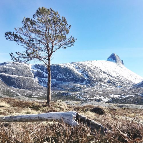That tree Scandinavia Nordic Boreal Pine Tree Bodø Spring Norway Cold Temperature Snow Winter Sky Mountain Plant Beauty In Nature Nature Tranquility Scenics - Nature Tranquil Scene No People Environment Day Tree Landscape Non-urban Scene Sunlight Snowcapped Mountain Clear Sky My Best Photo Stay Out Stay Out
