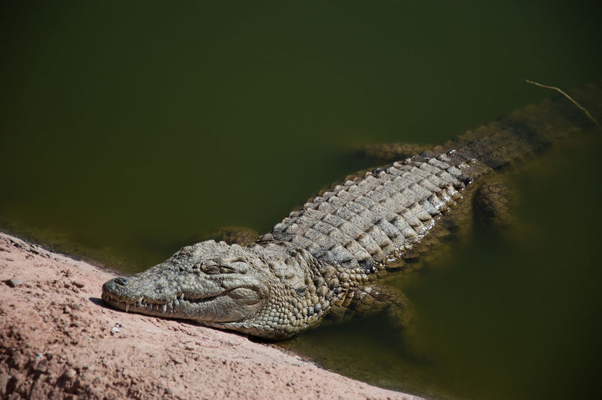 Nile crocodiles Reptile Alligator Water Crocodile Portrait Close-up Swamp Animal Scale Animal Eye Animal Skin Skin Wetland Eye